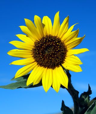 Annual-Sunflower